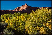 Cottonwood trees in fall foliage below red rock cliffs, Courthouse Wash. Arches National Park ( color)