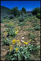 Wildflowers on mesa inclinado. Black Canyon of the Gunnison National Park, Colorado, USA. (color)