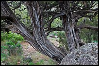 Juniper trees. Black Canyon of the Gunnison National Park, Colorado, USA. (color)