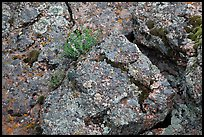 Gneiss and lichen. Black Canyon of the Gunnison National Park, Colorado, USA. (color)