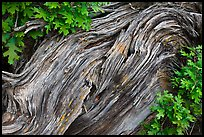 Gnarled root detail. Black Canyon of the Gunnison National Park, Colorado, USA. (color)