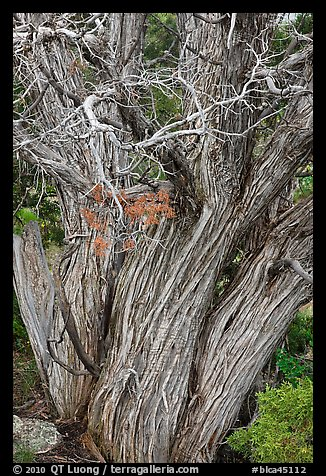 Textured juniper tree. Black Canyon of the Gunnison National Park, Colorado, USA.