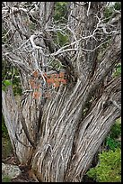 Textured juniper tree. Black Canyon of the Gunnison National Park ( color)