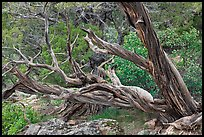 Twisted juniper trees. Black Canyon of the Gunnison National Park, Colorado, USA. (color)