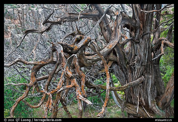 Twisted branches and tree. Black Canyon of the Gunnison National Park, Colorado, USA.