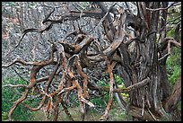 Twisted branches and tree. Black Canyon of the Gunnison National Park, Colorado, USA. (color)