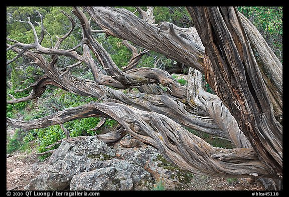 Twisted tree trunks. Black Canyon of the Gunnison National Park, Colorado, USA.