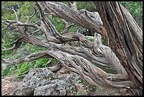 Twisted tree trunks. Black Canyon of the Gunnison National Park, Colorado, USA. (color)