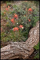 Fallen log and indian paintbrush. Black Canyon of the Gunnison National Park, Colorado, USA. (color)