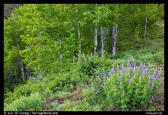 Lupine and aspen trees. Black Canyon of the Gunnison National Park (color)