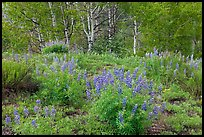 Spring flowers and forest. Black Canyon of the Gunnison National Park, Colorado, USA. (color)