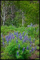 Lupine and aspens in the spring. Black Canyon of the Gunnison National Park, Colorado, USA. (color)