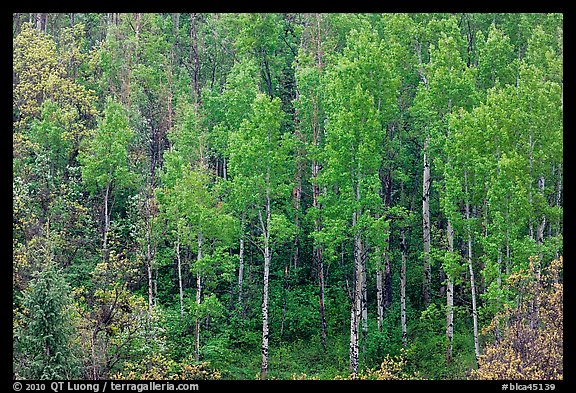 Aspens with spring new leaves. Black Canyon of the Gunnison National Park, Colorado, USA.