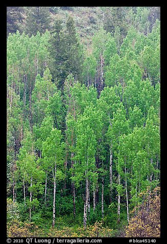 Spring green aspens on hillside. Black Canyon of the Gunnison National Park (color)