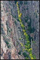 Trees in autumn color in steep gully. Black Canyon of the Gunnison National Park, Colorado, USA. (color)