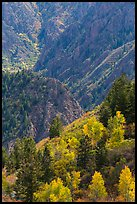 Trees in autumn foliage and canyon. Black Canyon of the Gunnison National Park, Colorado, USA. (color)