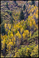 Yellow aspen on steep slope. Black Canyon of the Gunnison National Park, Colorado, USA. (color)