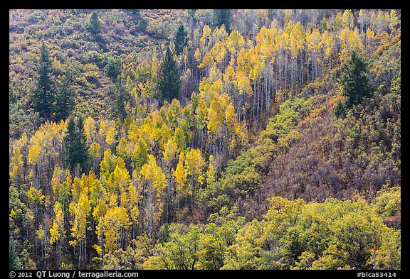 Slope with aspen in fall foliage. Black Canyon of the Gunnison National Park (color)