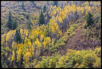 Slope with aspen in fall foliage. Black Canyon of the Gunnison National Park, Colorado, USA. (color)