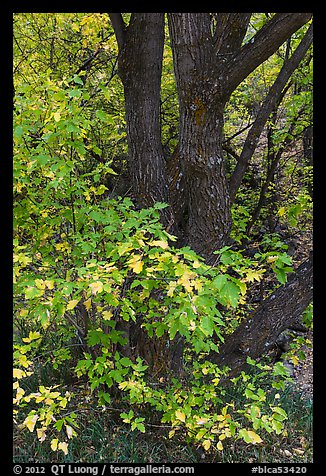 Trunk and leaves in autumn, East Portal. Black Canyon of the Gunnison National Park (color)