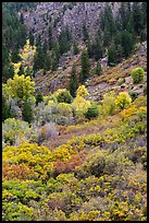 Slopes with Douglas fir and shrubs. Black Canyon of the Gunnison National Park, Colorado, USA. (color)