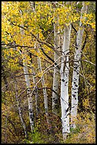Aspen in fall. Black Canyon of the Gunnison National Park, Colorado, USA. (color)