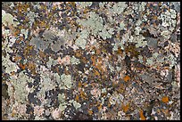 Close-up of lichen on rock. Black Canyon of the Gunnison National Park, Colorado, USA. (color)