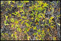 Gambel Oak and leaves. Black Canyon of the Gunnison National Park, Colorado, USA. (color)