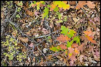 Close-up of Oak leaves in autumn. Black Canyon of the Gunnison National Park, Colorado, USA.