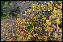 Gambel Oak thicket in the fall. Black Canyon of the Gunnison National Park ( color)
