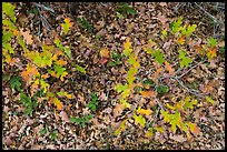 Gambel Oak and ground covered with fallen leaves. Black Canyon of the Gunnison National Park, Colorado, USA.