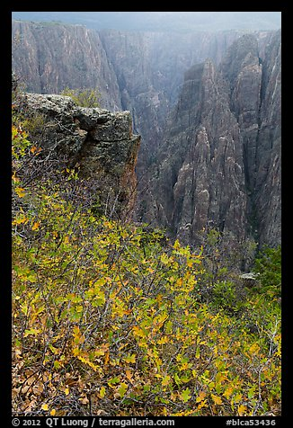 Scrub Oak on south rim in rain. Black Canyon of the Gunnison National Park (color)
