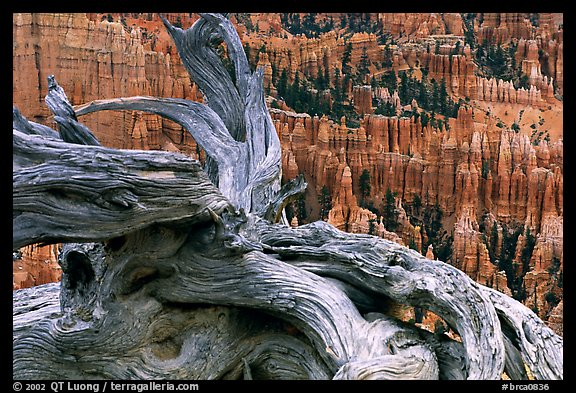 Twisted juniper near Inspiration point. Bryce Canyon National Park, Utah, USA.