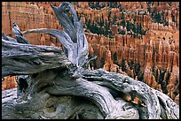 Twisted juniper near Inspiration point. Bryce Canyon National Park, Utah, USA. (color)