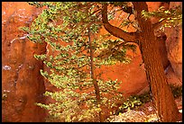 Douglas Fir in Wall Street Gorge, Navajo Trail. Bryce Canyon National Park ( color)