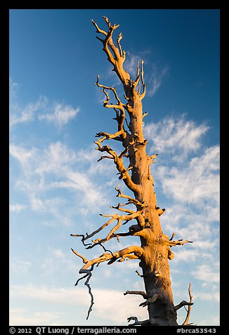 Bristlecone pine tree top. Bryce Canyon National Park (color)