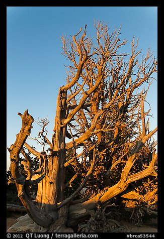 Bristlecone pine trees with many branches. Bryce Canyon National Park (color)