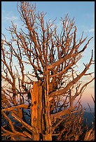 Bristlecone pine tree at sunset. Bryce Canyon National Park, Utah, USA. (color)