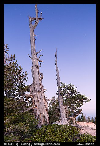 Bristlecone pine skeletons at dusk. Bryce Canyon National Park (color)