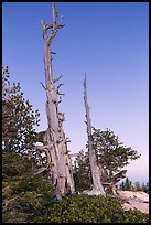 Bristlecone pine skeletons at dusk. Bryce Canyon National Park, Utah, USA. (color)