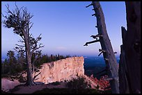 Bristlecone pine trees and cliff at dusk. Bryce Canyon National Park, Utah, USA. (color)