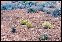 Cryptobiotic soil, desert flowers and shrubs. Canyonlands National Park, Utah, USA. (color)