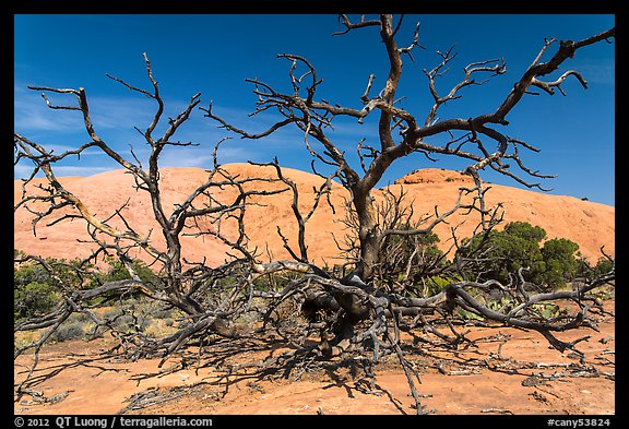 Dead juniper trees and Whale Rock. Canyonlands National Park (color)