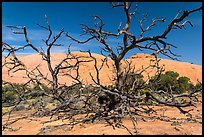 Dead juniper trees and Whale Rock. Canyonlands National Park, Utah, USA. (color)