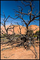 Tree skeletons and Whale Rock. Canyonlands National Park, Utah, USA. (color)