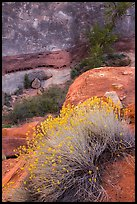 Blooming sage and rock walls in the Maze. Canyonlands National Park, Utah, USA.