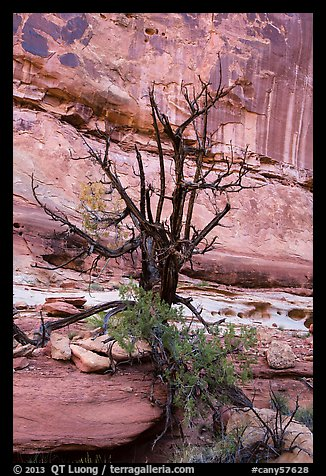 Juniper against canyon walls, Maze District. Canyonlands National Park (color)