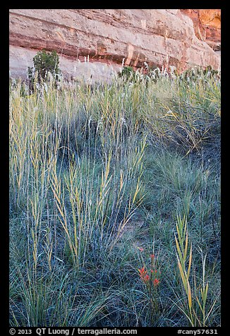 Paintbrush and tall grasses in canyon. Canyonlands National Park (color)