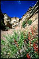 Wildflower in Capitol Gorge wash. Capitol Reef National Park, Utah, USA. (color)