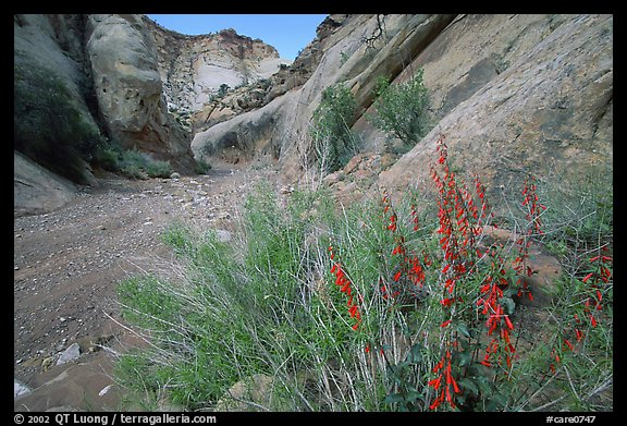 Wildflower in Wash in Capitol Gorge. Capitol Reef National Park, Utah, USA.